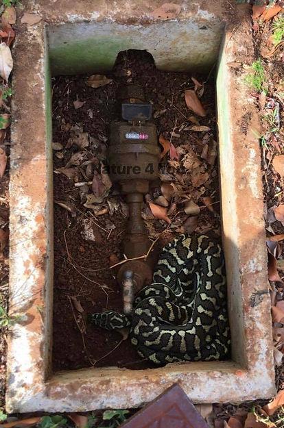 Coastal Carpet Python, Morelia spilota mcdowelli, carpet python, python, snake, reptile, Australian snake, Australian python, non-venomous snake, Nature For You, Logan snake catcher