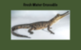 Fresh water Crocodile, Nature 4 You, crocodile, reptile, Crocodylus johnstoni