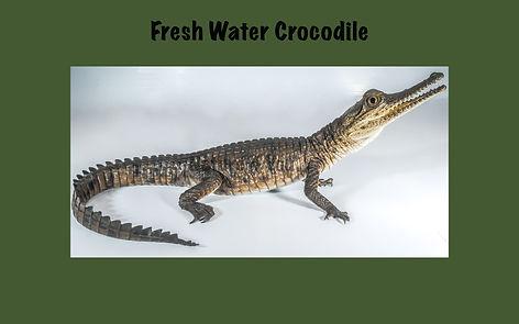 Fresh water Crocodile, Nature 4 You, crocodile, reptile, Crocodylus johnstoni
