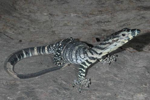 Lace Monitor,  Varanus varius