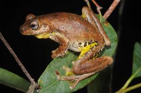 Tyler's Tree Frog,  Litoria tyleri