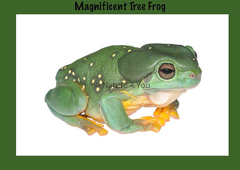 Magnificent Tree Frog, Nature 4You, Australian Frog