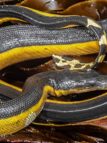 Yellow-bellied Sea Snake, Hydrophis platurus