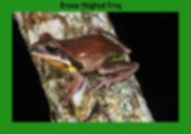Green-thighed Frog, Nature 4 You, Australian Frog