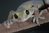 Marbled Velvet Gecko, Oedura marmorata
