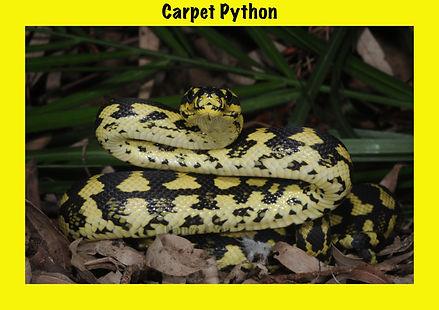 Carpet pyton, Morelia spilota, python, Nature 4 You, snake, reptile