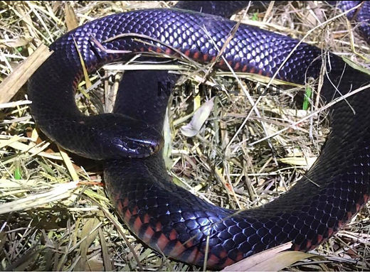 Red Bellied Black Snake, Pseudechis porphyriacus, red belly, venomous, Australian venomous snake, snake, snake catcher, Nature For You, Logan snake catcher