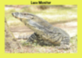 Lace Monitor, Nature 4 You, goanna, Lacie,reptile