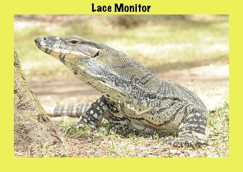 Lace Monitor, Nature 4 You, goanna, Lacie,reptile