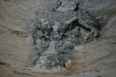 Freshwater Crocodile, Crocodylus johnstoni  -