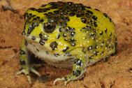 Crufcifix Spadefoot Toad, Notaden bennetti