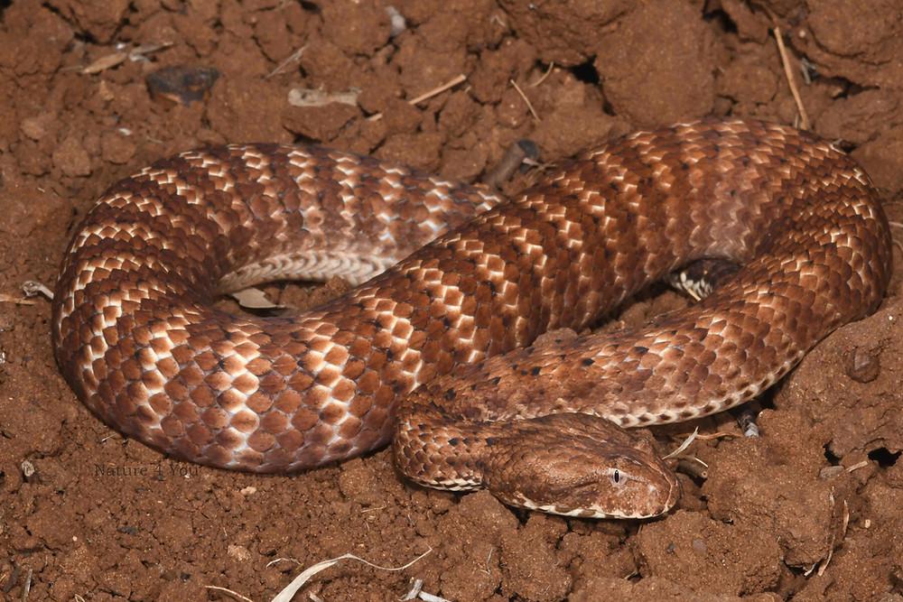 Pilbara Death Adder, Acanthophis wellsei