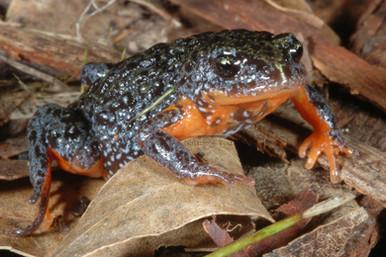 Southern Brood Frog, Pseudophyrne semimarmorata