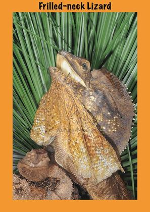 Frilled-neck Lizard, Chlamydosaurus kingii, Sea snake, damage mitigation permit training, venom, Australian flora & fauna, Australian photographer, venomous snake, Scott Eipper, Tyese Eipper, Tie Eipper, Australian author, Nature 4 You, wildlife demonstrator, reptile shows, herpetology, frogs of Australia, snakes of Australia, A guide to Australian snakes in captivity elapids & colubrids, dangerous creatures of Australia, lizards of Australia, snake book, lizard book, frog book, field guide, snake catcher, snake, python, elapid, colubrid, blindsnake, turtle, goanna, monitor lizard, skink, pygopod, legless lizard, gecko, dragon, lizard, herpetologist, snake training, reptile cards, conservation, reptile, amphibian, frog, reptile stickers, reptile breeder Queensland, crocodile, reptile birthday party, reptile book, reptile tote bags, reptile fridge magnet, snake shows, frog fridge magnet, wildlife photography, reptile signs, reptile gift tags, reptile posters,  hots, wildlife carer