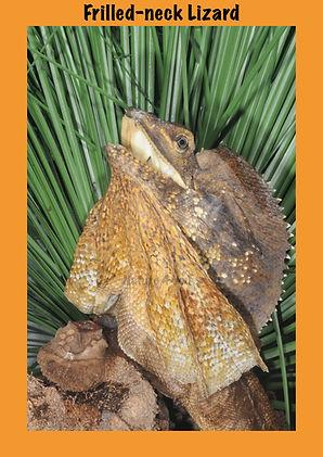 Frilled-neck Lizard, Nature 4 You, Australian lizard