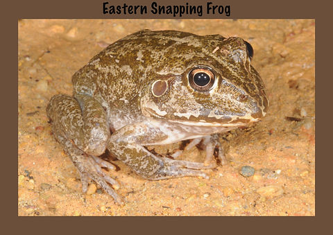 Eastern Snapping Frog, Nature 4 You, Australian Frog