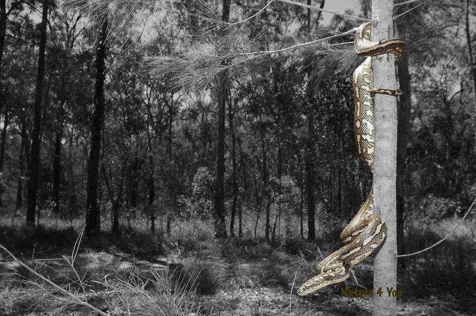 Python, Coastal carpet python, Morelia spilota mcdowelli, black and white with colour, snake, Australian Bush, bushwalking, australian reptile, carpet python