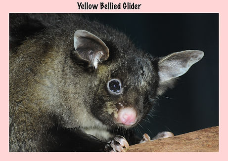 Yellow Bellied Glider, Nature 4 You, mammal