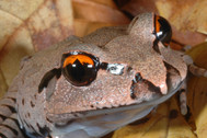 Great Barred Frog, Mixophyes fasciolatus