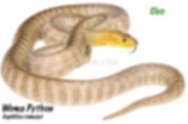Woma Python, Aspidites ramsayi, python, snake, reptile, herpetology, Nature For You