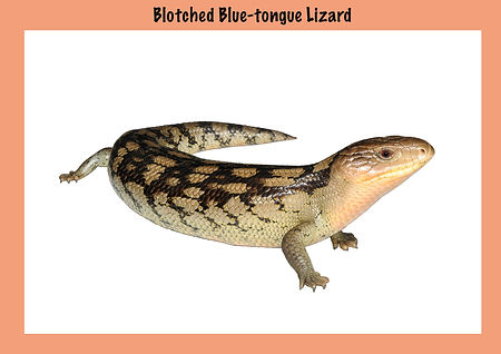 Blotched Blue-tongue Lizard, Nature 4 You, skink, reptile