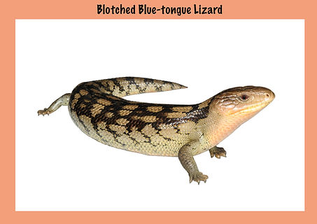Blotched Blue-tongue Lizard, Nature 4 You, skink, reptile