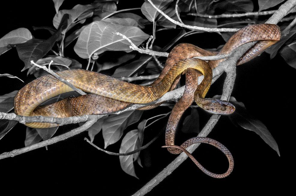 Brown Tree Snake, Boiga irregularis, Logan Snake Catcher, Nature For You, snake shows, reptiles, snake, amphibian