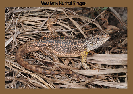 Western Netted Dragon, Nature 4 You, dragon, lizard, reptile