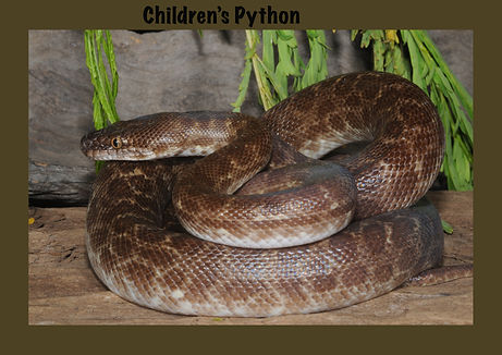 Children's python, Nature 4 You, python, snake, reptile