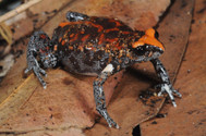 Red-crowned Brood Frog, Pseudophyrne australis