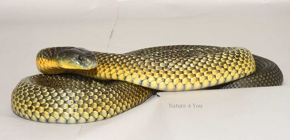 Common Tiger Snake, Notechis scutatus scutatus after sloughing.