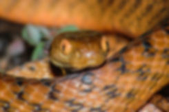 Snake Catcher Logan, free snake identifications, wildlife, snake, lizard, frog, amphibian, goanna, turtle,