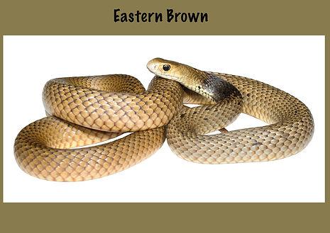 Eastern Brown Snake, EB, Common Brown Snake, Pseudonaja textilis, Nature 4 You, venomous snake, elapid, reptile