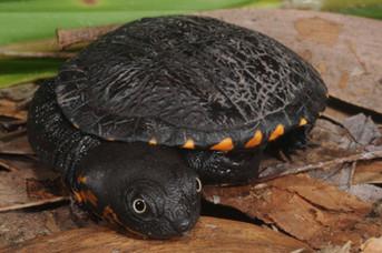 Cann's Snake-necked Turtle, Chelodina rankini