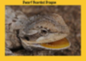 Dwarf Bearded Dragon, Nature 4 You, dragon, lizard