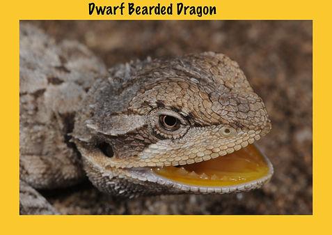 Dwarf Bearded Dragon, Nature 4 You, dragon, lizard