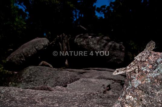 Granite Leaftailed Gecko