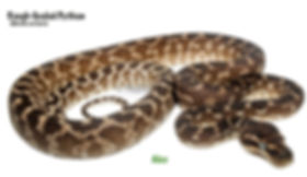 Rough-Scaled Python, Morelia carinata, rough, bumpy, keeled scales, python, snake, reptile, cold blooded, Nature For You