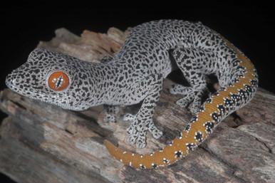 Golden-tailed Gecko, Strophurus taenicauda