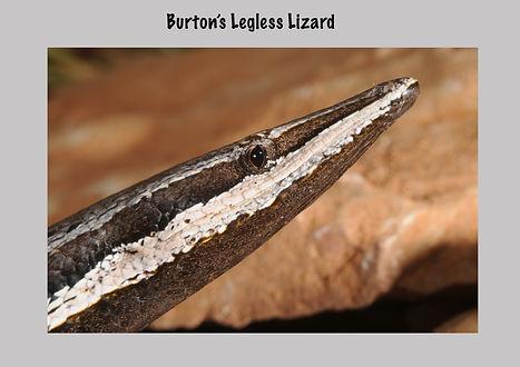 Burton's Legless Lizard, Nature 4 You, Pygopodidae, legless lizard, reptile