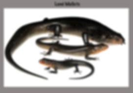 Land Mullet, Lizard, Naure  You, skink, reptile