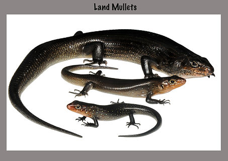 Land Mullet, Lizard, Naure  You, skink, reptile