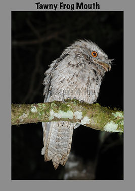 Tawny Frog Mouth, Nature 4 You, bird
