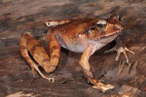 Fletcher's Frog, Lechriodus fletcheri