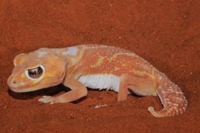 Pilbara Smooth Knob-tailed Gecko, Nephrurus levis pilbarensis