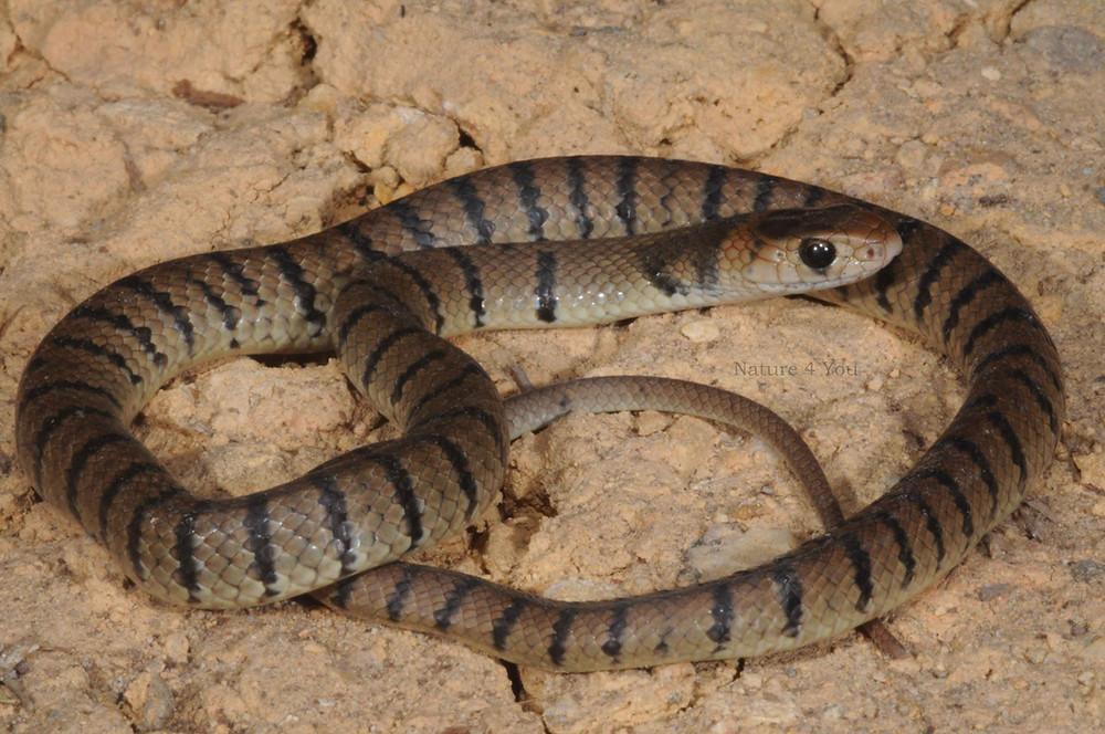 Juvenile Eastern Brown Snake, Pseudonaja textilis
