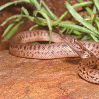 Pygmy Python,  Antaresia perthensis