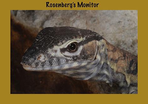 Rosenberg's Monitor, Nature 4 You, Heath Monitor, goanna, reptile