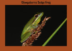 Olongaburra Sedge Frog, Nature 4 You, Australian frog