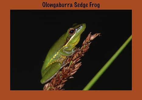 Olongaburra Sedge Frog, Nature 4 You, Australian frog